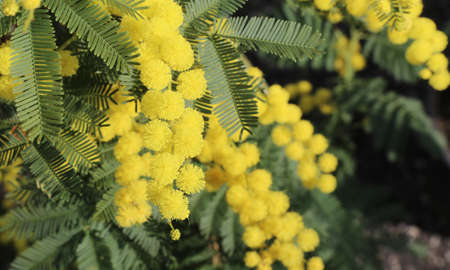 background of yellow mimosas flowers  blossomed in spring Archivio Fotografico
