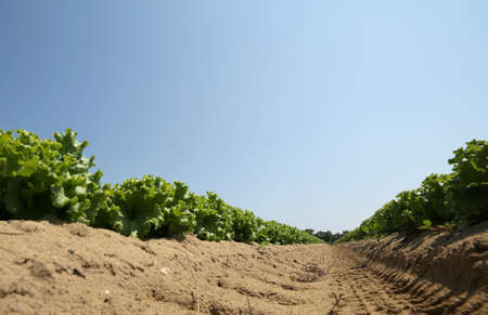 Large field of green lettuce with sandy soil photographed from below