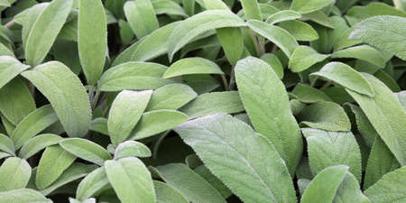 green leaves of sage. Sage is an aromatic herb ideal to flavor many dishes,