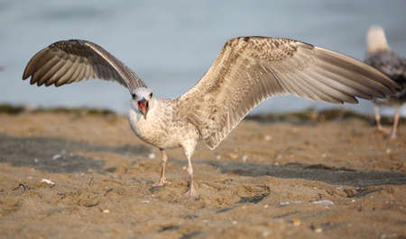 big seagull on the beach in summer  with open beak