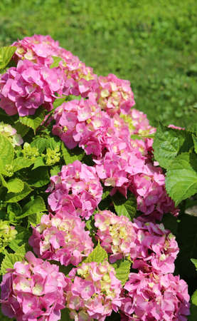 pink hydrangea flowers blossomed in the spring in the garden of a house