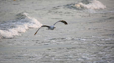 big seagull flies free over the water of ocean