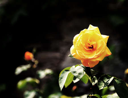 yellow flower of a rose in the garden of a house