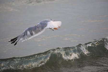big seagull with wide wings flies free over the water of ocean Stock Photo