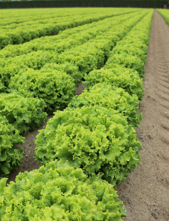 cultivation of green lettuce in a field with sandy soil to facilitate water drainage