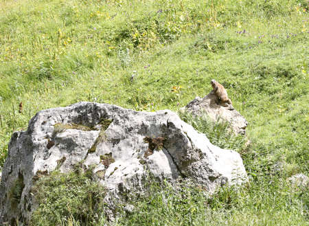 marmot on top of the rock on the meadow in the mountains controls that no predators arrive near his den