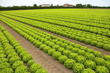 intensive cultivation of lettuce in a field with sandy soil to facilitate water drainage