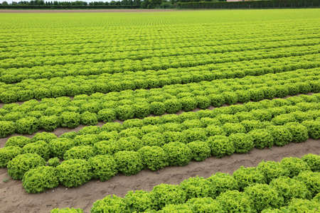 intensive cultivation of green lettuce in a field with sandy soil to facilitate water drainage