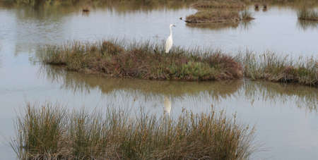 great white heron in the natural park with wild plants and standing water