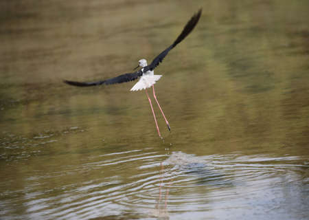 black-winged stilt bird flying with big wings above the pond Фото со стока