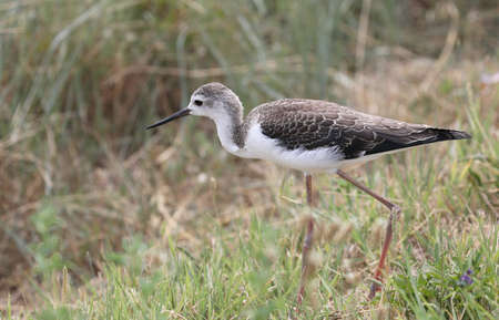 young bird called black-winged stilt hunting in the summer Фото со стока