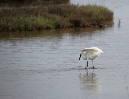 Great white heron hunting the fish in the shallow water of the pond