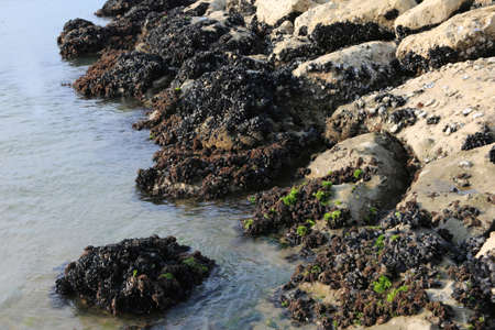 many mussels on the rocks by the sea