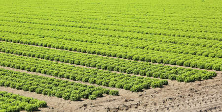 intensive cultivation of fresh green lettuce in the very fertile plain in summer