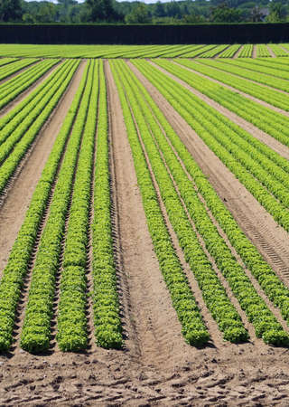 field cultivated with many heads of green lettuce Stock Photo