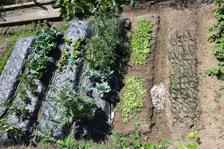vegetable garden with the cultivation of lettuce tomato and onions with oraganic techniques without pesticides