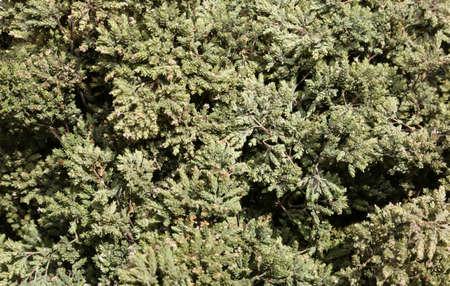 green dried leaves of oregano for sale in the mediterranean market Archivio Fotografico - 108331393