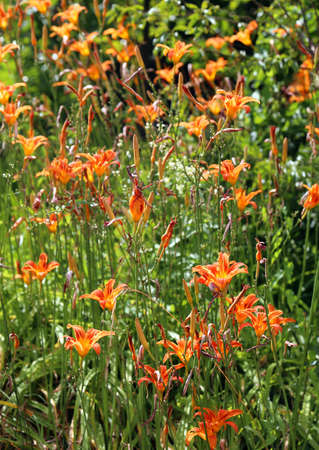 orange lily flowers bloomed in early summer in a green meadow Stock Photo