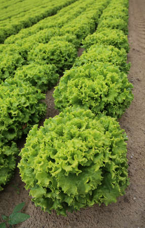 large head of lettuce in the field cultivated with sandy soil to promote the growth of vegetables Stock Photo