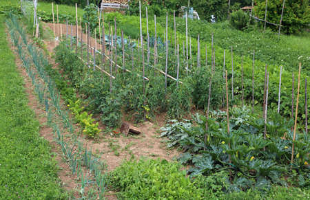 large vegetable garden with tomato and zucchini cultivation in summer Stock Photo