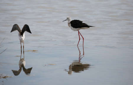 two young birds called black-winged stilt on the pond Stock Photo