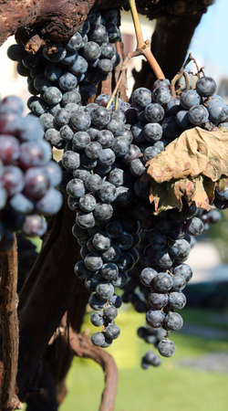 ripe bunch of black grapes in autumn