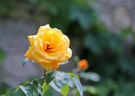 beautiful yellow rose with blurred background in spring