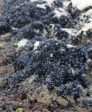 many black mussels on the rock by the sea Stock fotó - 108331936