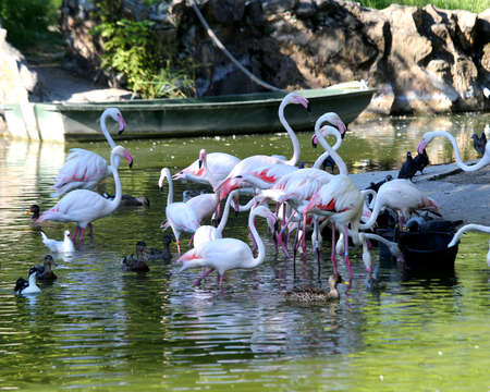 many pink flamingos on the pond