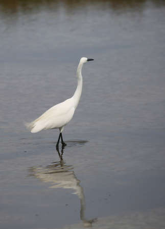 great white heron with its reflection in the shallow water of the pond