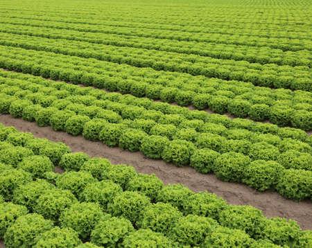amplios campos con lechugas verdes en la llanura en verano