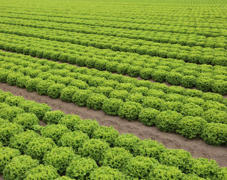 wide fields with green lettuce in the plain in summer
