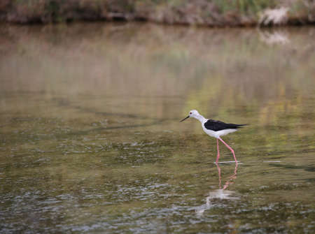 young bird called black-winged stilt on the water of the pond
