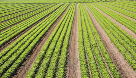 immense intensive cultivation of fresh green lettuce in the very fertile plain with sandy soil in summer