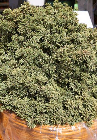 organic green oregano for sale at market in the mediterranean country