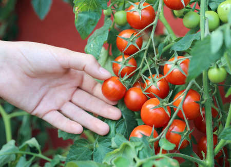 child hand harvesting red tomatoes from an urban garden on the balcony Stock Photo