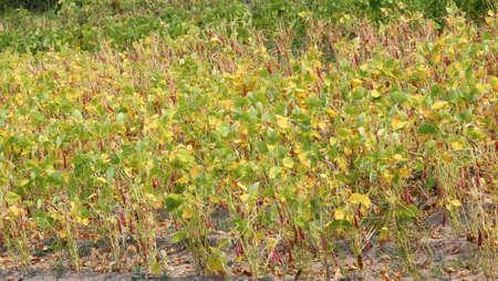bean plants with pods in wide vegetable garden