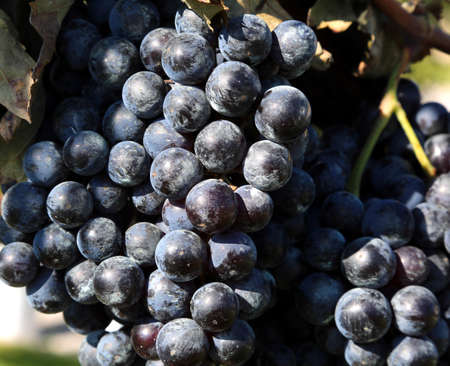 bunch of black grapes ripened in autumn in a vineyard
