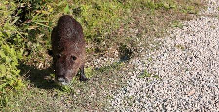 big brown nutria in a public park Stock Photo