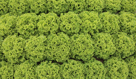 background of lush green lettuce in cultivated field in summer