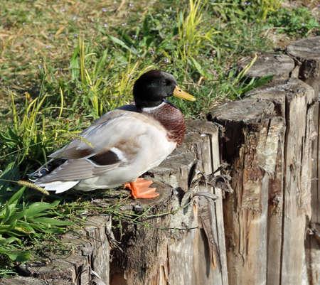 big adult mallard on the wooden pole with yellow beak