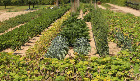 large vegetable garden with cabbages, lettuce, aubergines and other types of vegetables