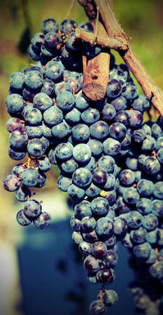 bunch of ripe black grapes still on the plant