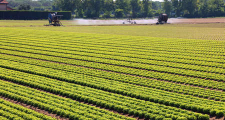 long rows of lettuce heads in a large field