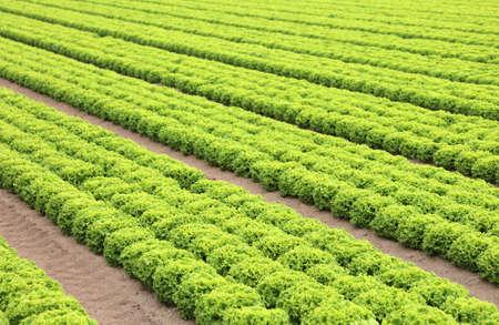 green field of fresh organic lettuce in the plain Stock Photo
