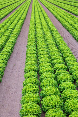 immense field of fresh green lettuce in an intensive vegetable cultivation with organic techniques without anticryptogamics