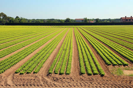 long rows of heads of green lettuce in a large field