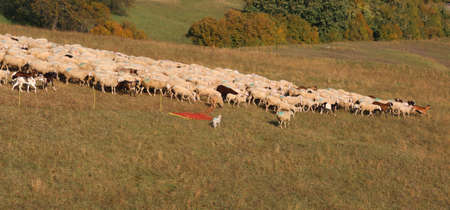 flock of free and white sheep on a small hill in the mountains