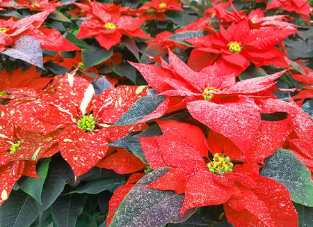 Christmas star plants also called Poinsettia for sale in the greenhouse to decorate the Christmas table