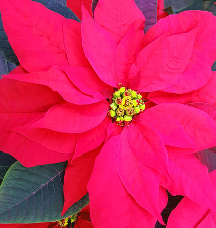 red leaves of poinsettia plant also called Christmas Stars